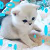 Британские котята окраса серебристая шиншилла