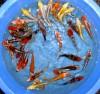 Продажа, рыбки для водоема, водные растения, карпы кои, корм для кои