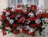 Продам цветы в кашпо