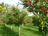Обрезка плодовых деревьев. Консультация по уходу за садом в Алматы.