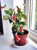 Растения: спатифиллум, антуриум, калерия, фуксия, герань, сингони итд