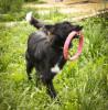 Идеальная собачка метис колли ищет дом