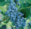 Продам саженцы голубики и много других растений (опт от 1000 грн).