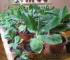 Продам саженцы Банана (комнатное растение) и много других растений.