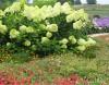 Продам саженцы Гартензии и много других растений (опт от 1000 грн).