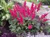 Продам саженцы Астильбы и много других растений (опт от 1000 гр).