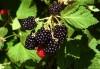 Продам саженцы Ежевики и много других растений (опт от 1000 грн).