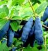 Продам саженцы Жимолость и много других растений (опт от 1000 грн).