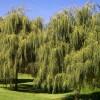 Продам саженцы Ивы Вавилонской (Матсуданы) и много других растений.