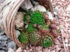 Продам почвопокровник Каменную розу (Молодило) и много других растений