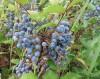 Продам саженцы вечнозеленого растения Магонии Падуболистной.