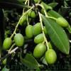 Продам Маслину в горшках, комнатное растение и много других растений.