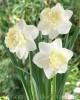Продам луковицы Нарциссов и много других растений (опт от 1000 грн).