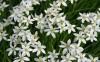 Продам луковицы Птицемлечник и много других растений (опт от 1000 гр)