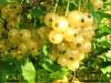 Продам саженцы Смородины и много других растений (опт от 1000 грн).