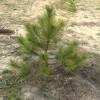 Продам саженцы Сосны Крымской и много других растений (опт от 1000 гр)