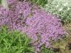 Продам Чабрец почвопокровный и много других растений (опт от 1000 грн)