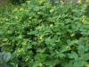 Продам саженцы Чистотела лекарственного и много других растений.