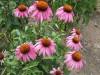 Продам саженцы Эхинацеи и много других растений (опт от 1000 грн).