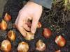 Продам луковицы Тюльпанов Гигантских и много других растений.