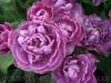 Продам луковицы Тюльпанов Махровых + Многоцветковых.