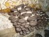 Уникальный комплект для выращивания грибов вешенки дома