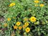 Продаю цветки и семена календулы