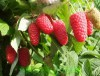 Продажа саженцев малины Краса России