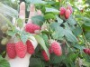 Саженцы малины крупноплодной Феномен