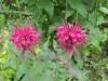 Продам рассаду монарды (мяты американской) разных расцветок.