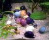 Ампулярии — разноцветные моллюски в аквариуме
