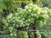 Саджанці винограду більше 170 сортів і г.ф.