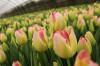 Продам Тюльпаны оптом к 8 Марта 2018 примула, крокус, гвоздика Oscar