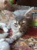 Котята пушистые в ответственные руки.