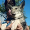 Щенки собаки Сарлоса (Saarloos Wolfdogs)