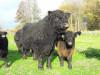 Племенные быки мясной породы галловей
