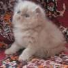 Продажа персидских котят