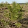 Сосна Крымская на пересадку и много других растений.