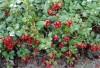 Продам саженцы Брусники и много других растений (опт от 1000 грн).