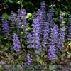Продам корень Живучки и много других растений (опт от 1000 грн).