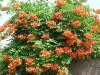 Продам корни Кампсиса и много других растений (опт от 1000 гр).