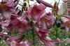 Продам луковицы Лилий и много других растений (опт от 1000 гр).