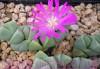 Эсклюзив цветущие камни Литопс от 70 - 120 гр и много других растений