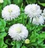 Продаем мега красивенные цветы Маргаритки Белые.