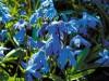 Продам луковицы Пролесков и много других растений (опт от 1000 гр).