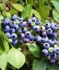 Продам саженцы Черники обыкновенной (лесной) и много других растений.