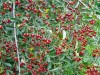 Продам саженцы Шпанки и много других растений (опт от 1000 гр).