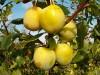 Продам саженцы Сливы и много других растений (опт от 1000 грн).