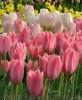 Продам луковицы Тюльпанов Гибрид Фостера и много других растений.