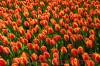 Продам луковицы Тюльпанов Грейга и много других растений.